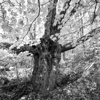 The eldest of the forest